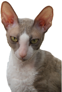 Cornish Rex Alegria