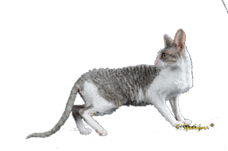 Cornish Rex Frimousse