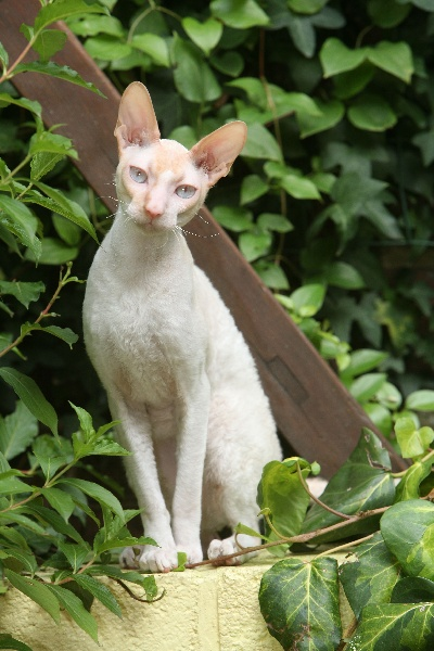 Cornish Rex Ideal Dream Bartok