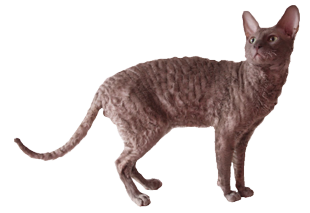 Cornish Rex Rexflower Cupido