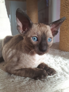 Kathorse Cornish Rex
